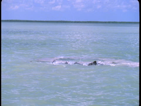 A pod of dolphins feeds on the surface near the coast of Florida.