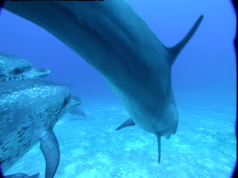 A pod of dolphins glides along a sandy seabed