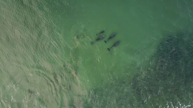 pod of dolphins hunting in the ocean, aerial view. - common dolphin stock videos & royalty-free footage