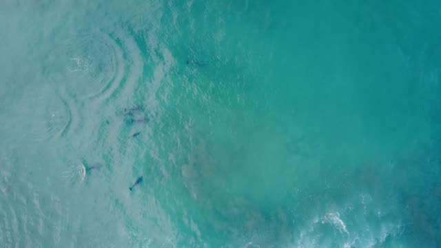 Pod of dolphins hunting in the ocean, aerial view.