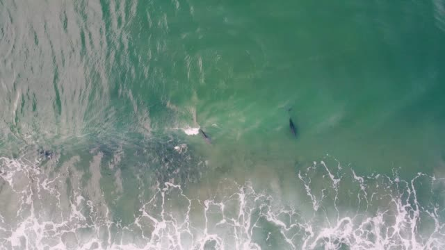 pod of dolphins hunting in the ocean, aerial view. - dolphin stock videos & royalty-free footage