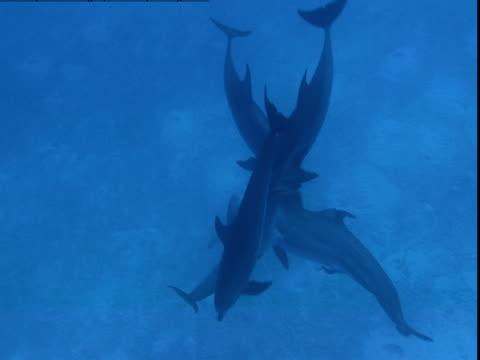 vídeos de stock e filmes b-roll de a pod of dolphins interacts in shallow waters. - golfinho pintado pantropical