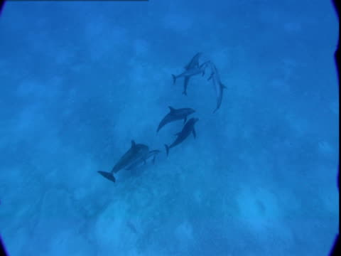 vídeos de stock e filmes b-roll de a pod of dolphins interacts near a sandy seabed, then rises to the ocean's surface. - golfinho pintado pantropical