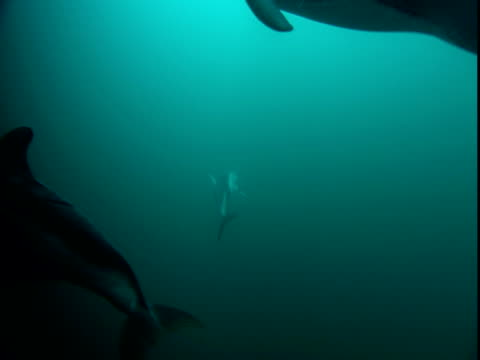 a pod of dolphins plays in telegraph cove. - cetacea stock videos & royalty-free footage