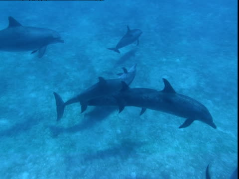 vidéos et rushes de a pod of dolphins plays on a sandy seabed - groupe de mammifères marins
