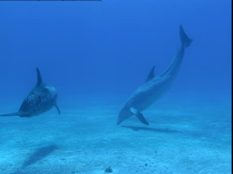 vidéos et rushes de a pod of dolphins plays together over a seabed in the bahamas. - groupe de mammifères marins