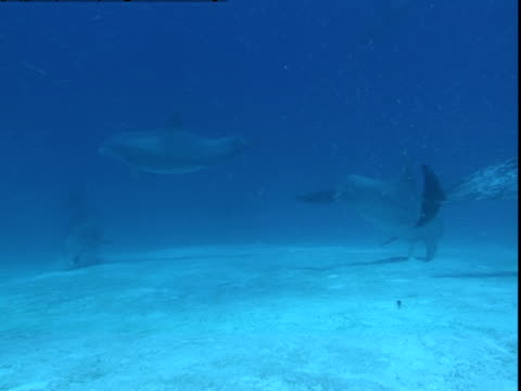A pod of dolphins searches a sandy seabed in the Bahamas for buried prey.