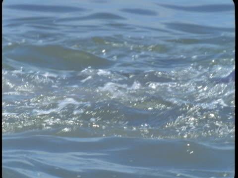 vídeos de stock, filmes e b-roll de a pod of dolphins splashes on the surface near the coast of florida. - bando de mamíferos marinhos