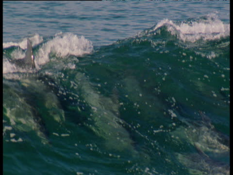 pod of dolphins surf in wave - tursiope video stock e b–roll