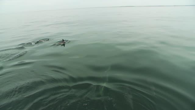 vidéos et rushes de a pod of dolphins surface, then dive. - groupe de mammifères marins