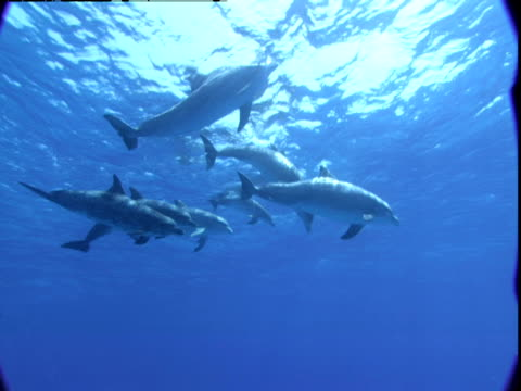 A pod of dolphins surfaces to breathe in the waters of the Bahamas.