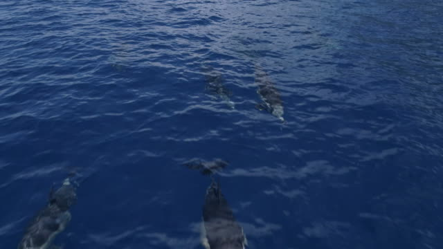 pod of dolphins swim in blue, calm ocean, frontal slow motion shot - common dolphin stock videos & royalty-free footage