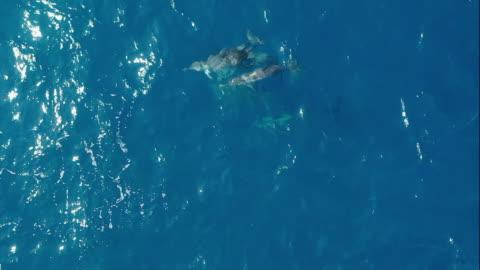 stockvideo's en b-roll-footage met peul van dolfijnen die in indische oceaan zwemmen - dolfijn