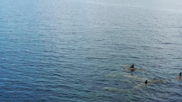 海で泳ぐイルカのポッド、ドローンビュー - ネズミイルカ点の映像素材/bロール
