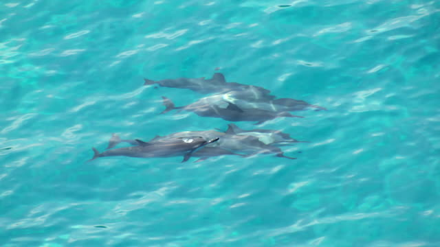 MS AERIAL TS Pod of dolphins swimming in sea / Hawaii, United States