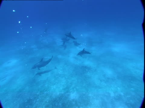 vidéos et rushes de a pod of dolphins swims along a sandy seabed. - groupe de mammifères marins