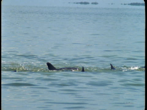 A pod of dolphins swims at the surface of the water, revealing their dorsal fins.