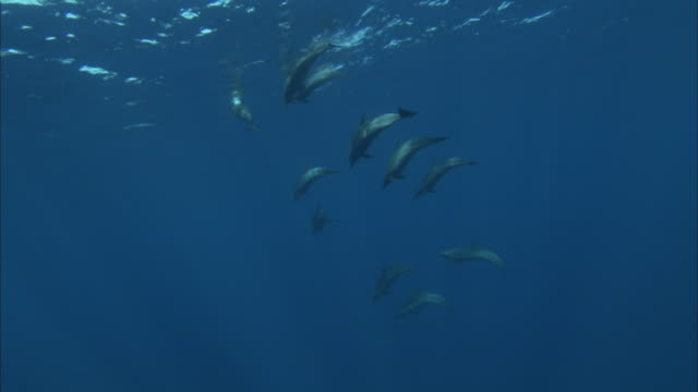 vídeos de stock e filmes b-roll de a pod of dolphins swims closely together. - golfinho