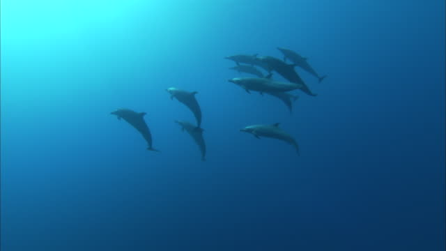 a pod of dolphins swims in pristine blue ocean water. - dolphin stock videos & royalty-free footage