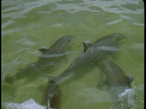 a pod of dolphins swims in shallow water near the coast of florida. - shallow stock videos & royalty-free footage