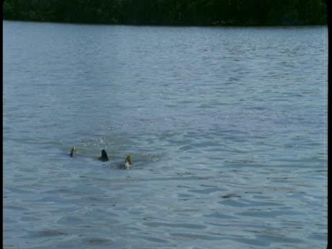 vídeos de stock e filmes b-roll de a pod of dolphins swims in shallow waters. - bando de mamíferos marinhos