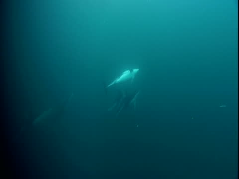 A pod of dolphins swims in Telegraph Cove off Vancouver Island.