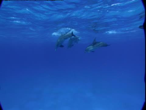 vídeos de stock e filmes b-roll de a pod of dolphins swims near the ocean's surface. - golfinho pintado pantropical