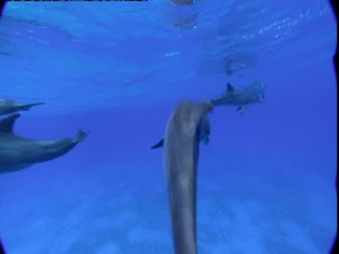 vídeos y material grabado en eventos de stock de a pod of dolphins swims near the surface in the bahamas. - cetáceo