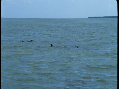 A pod of dolphins swims out to sea.