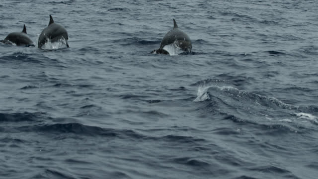 pod of dolphins swims through ocean, sri lanka. - spinner dolphin stock videos & royalty-free footage