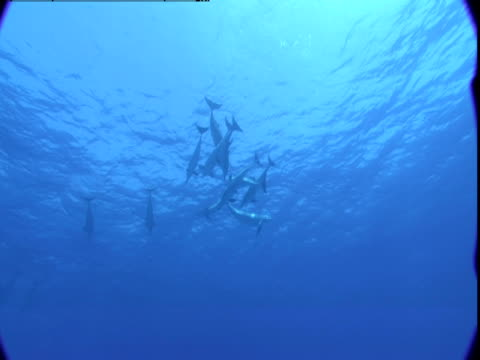 vidéos et rushes de a pod of dolphins swims together near the surface of the atlantic ocean in the bahamas. - groupe de mammifères marins