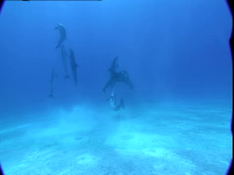 A pod of dolphins swims toward the surface from a seabed in the Bahamas.
