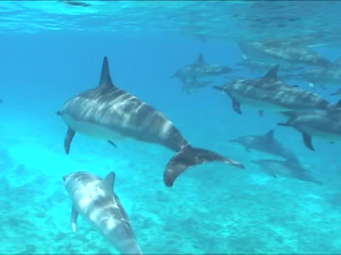 A pod of dolphins swims under the blue water.