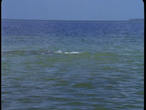 a pod of dolphins thrashes at the surface of the water. - cetacea stock videos & royalty-free footage