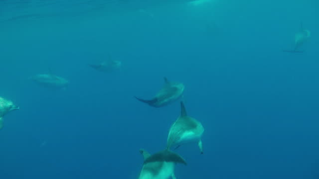 Pod of dolphins travel fast, underwater slow motion