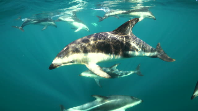 pod of dusky dolphins swim across in front of the camera then turn and swim back to the camera, nuevo gulf, valdes peninsula, argentina. - dusky dolphin stock videos & royalty-free footage