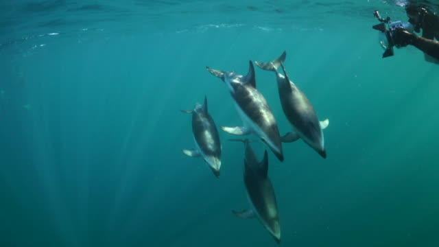 pod of dusky dolphins swimming to the camera as a diver is taking pictures, nuevo gulf, valdes peninsula, argentina. - dusky dolphin stock videos & royalty-free footage