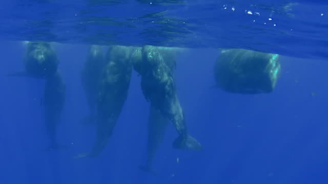 pod of eight sperm whale calves and juveniles in a social group become interested in the camera, north western coast of mauritius. - sperm whale stock videos & royalty-free footage