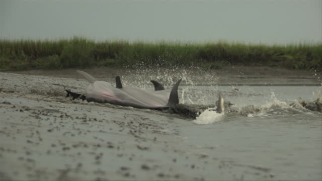 a pod of feeding dolphins swim onto the sandy beach. - cetacea video stock e b–roll