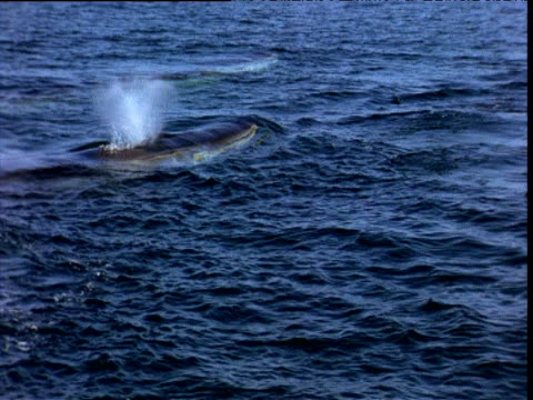 pod of fin whales surface, bay of fundy - fin whale stock videos & royalty-free footage