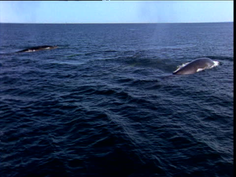Pod of Fin whales surfaces, Bay of Fundy