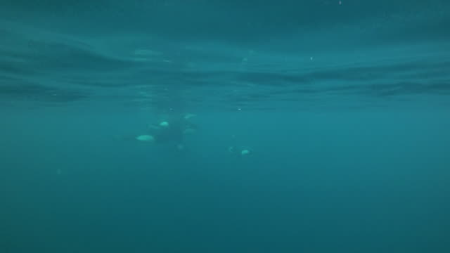 pod of five killer whales come together near the surface, kvaenangen fjord area, northern norway. - group of animals stock videos & royalty-free footage