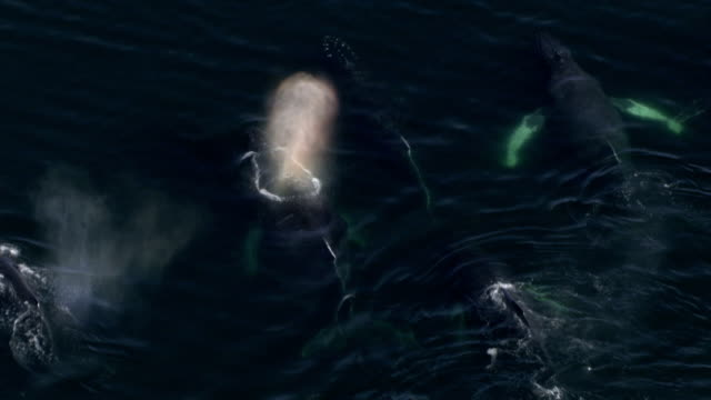 vidéos et rushes de a pod of humpback whales breach the surface of the water and blow. - groupe de mammifères marins