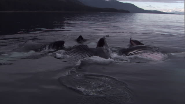 A pod of humpback whales bubble net fish near the coast. Available in HD.
