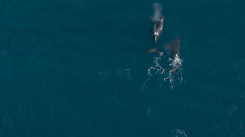 vídeos de stock e filmes b-roll de pod of humpback whales cruising together in the ocean - baleia de bossas