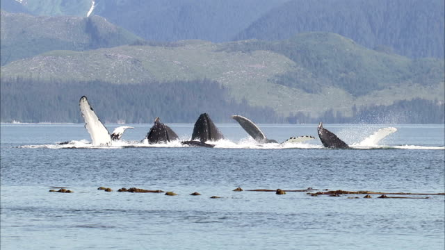 a pod of humpback whales feed off alaska's forested coast. - pod group of animals stock videos & royalty-free footage