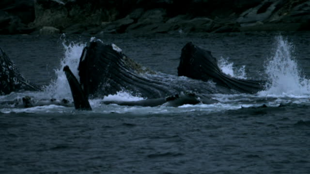 Pod of Humpback whales feed off of coast.