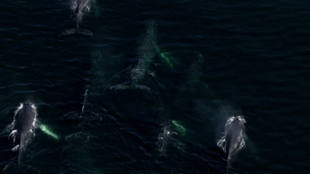 vidéos et rushes de a pod of humpback whales surface from the water and blow. - groupe de mammifères marins