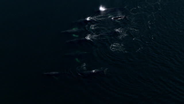 vidéos et rushes de a pod of humpback whales surfaces and spouts. - groupe de mammifères marins