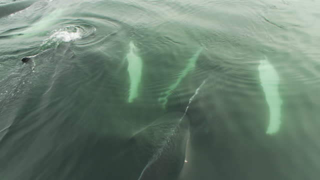 vidéos et rushes de a pod of humpback whales swims near the surface of the ocean. - groupe de mammifères marins